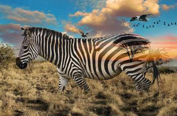 Call Of The Wild Hoffman Spectrum Digital Print  R4611 Zebra Panel 29 x 43