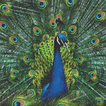 Proud As A Peacock Digital Spectrum Print By Hoffman S#Q4512 Colour 136 Peacock